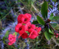 Planta espinosa con hermosas flores con forma de boca