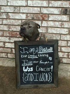 I am a pitbull, the only thing I've ever fought was cancer, and I won!