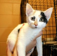 Meet Hope, a Petfinder adoptable Domestic Short Hair Cat | Enterprise, AL | Hope is a pretty white & Calico kitten. She is about 12 weeks old.Behavior and personalities are...