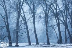 Black Oak Trees in Foggy Snowstorm by rwongphoto