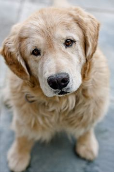 need - Old Golden Retriever's make my heart melt big time.
