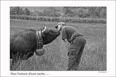 photo vaches d'hérens dans la nature - Recherche Google