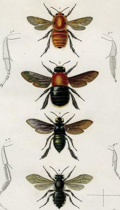 1849 Matted Antique Insect Print Bees por AntiquePrintBoutique