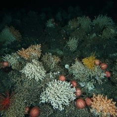 Australia's deep-sea coral reefs could be dead within 50 years: CSIRO scientist - ABC News