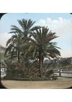 Coloured lantern slide of palm trees with buildings in the distance. Part of Box Italy Coloured cm) Fine Art Print Framed, Poster, Canvas Prints, Puzzles, Photo Gifts and Wall Art