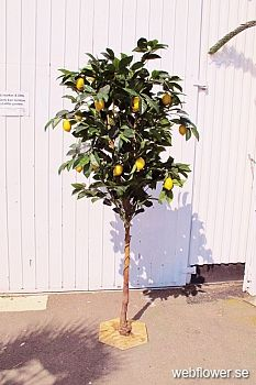 Citron träd. 200cm