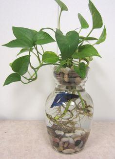 Fish bowl decorations on pinterest glass fish bowl for Fish bowl plants