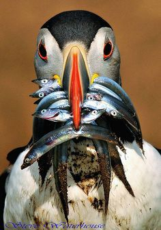 world's best fisherman? Atlantic Puffin catches bunch of fish (photo Steve Waterhouse, via fairy-wren.tumblr 16755267350)