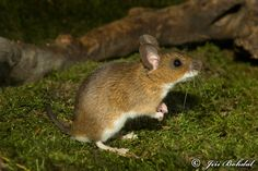 http://www.naturephoto-cz.com/yellow-necked-field-mouse-photo-15562.html field mouse