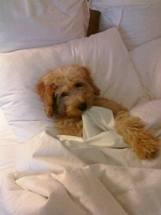 Found a picture of our puppy Charlie (a labradoodle) on Quad City Labradoodles website!!  Sweetest dogs!!