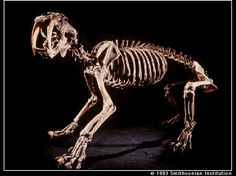 Saber-Toothed Cat - Smilodon fatalis - Found in North America until about 10,000 years ago, this possible ambush-hunter was more robustly built than any extant cat. It had very well-developed forelimbs and exceptionally long canines. It lived with two other species, Smilodon gracilis and Smilodon populator