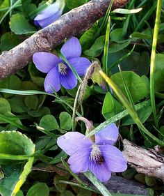 Wild Violets - These have always been one of my favorite flowers. When I was a child, they grew wild everywhere in the spring.