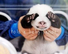 Hold a baby panda.. Gracie come with me!