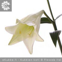 Valkolilja, Lilium longiflorum Gerbera, Bird, Birds