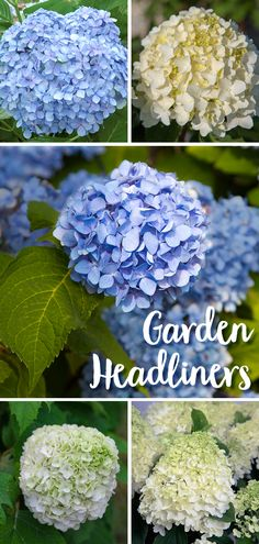 Southern Living Hydrangeas are Garden Headliners -- These versatile beauties perform wonders whether planted singly or in mass, as a focal point or backdrop. Hydrangea Garden, Hydrangeas, Old Fences, Organic Matter, Shade Plants, Southern Living, Dried Flowers, Garden Plants, Shrubs
