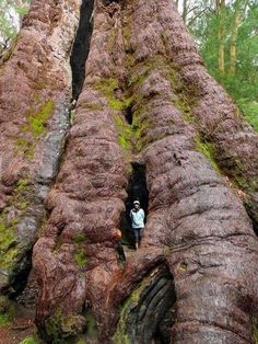 Eucalyptus jacksonii - The red tingle tree. South west WA, Australia - the man in the photo puts the tree in perspective - WOW! Giant Tree, Big Tree, Unique Trees, Old Trees, Tree Forest, Western Australia, Australia Travel, Amazing Nature, Trees To Plant