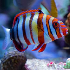 The Harlequin Tusk has orange stripes with white margins and blue adjacent to the tail of the fish. Shy when young, they gain personality as they mature. Marine Aquarium, Reef Aquarium, Saltwater Aquarium, Brittle Star, Beautiful Sea Creatures, Pet Fish, Ocean Life, Tropical Fish, Stripes