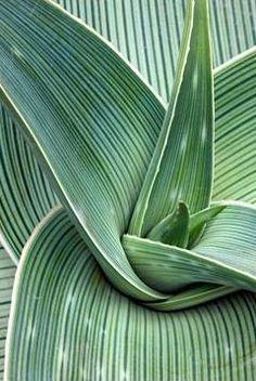 Aloe striata subsp 'Karasbergensis' - RHS Wisley