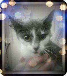 Trevose, PA - Domestic Shorthair. Meet Marlena, a kitten for adoption. http://www.adoptapet.com/pet/17792991-trevose-pennsylvania-kitten