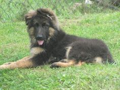 German Shepherd long-haired pup!