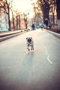 Run pug, run! ~ re-pinned by pugaddict.com