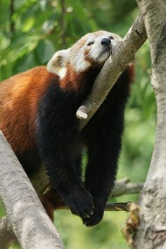 more Red Panda Siesta :-)) pandas, cute pandas Tired Animals, Animals And Pets, Beautiful Creatures, Animals Beautiful, Cute Baby Animals, Funny Animals, Niedlicher Panda, Animals Of The World, Animal Photography