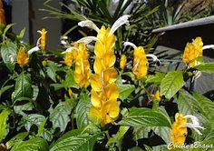 Camarao amarelo - Pachystachys lutea