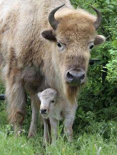 White Buffalo & calf