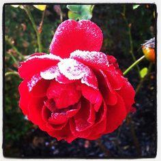 #Rose #rouge givrée à Savennières #Flower #Vineyard