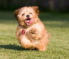 How do you start house training your puppy? Toilet training takes time and every dog is different. Here are some important tips for toilet training your puppy Puppy Toilet Training, Puppy Training Guide, Training Dogs, Goldendoodle Haircuts, Puppy Schedule, Puppy Shampoo, Dog Toilet, Dogs Online, What Kind Of Dog