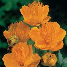 Golden Queen Trollius Known As Globeflower This Fantastic Perennial Has Warm Yellow