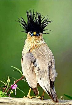 Brahminy Starling (Sturnia pagodarum) in India by Sriram Reddy. Brahminy Starling (Sturnia pagodarum) in India by Sriram Reddy. Funny Birds, Cute Birds, Pretty Birds, Beautiful Birds, Animals Beautiful, Animals And Pets, Funny Animals, Cute Animals, Exotic Birds
