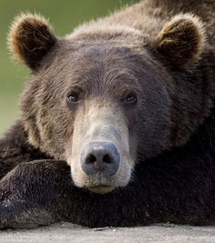 Ours brun d'Alaska / Source : GEO. Wild Animals Pictures, Animal Pictures, Black Bear, Brown Bear, Animals Beautiful, Cute Animals, Bear Paintings, Bear Tattoos, Bear Face