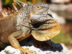 Iguana in the Cayman Islands