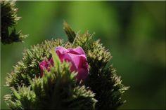 Roses Insolites