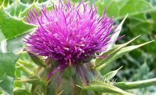 Milk Thistle is an herbal supplement that detoxifies and protects vital liver functions and more. Milk thistle has been used for over years. Liver Detox Drink, Liver Detox Cleanse, Detox Your Liver, Body Detox, Natural Liver Detox, Natural Cleanse, Natural Healing, Milk Thistle Benefits, Digestive Detox