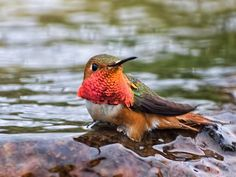 Male Allen's Hummingbird taking a bath