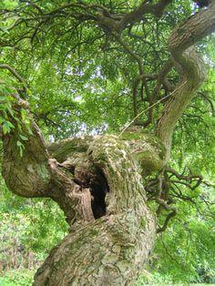 Sophora japonica 'Pendula' - weeping Pagoda tree Sophora Japonica Pendula, Treehouses, Trees And Shrubs, Love Flowers, Nature, Plants, Gardens, Naturaleza, Tree Forts