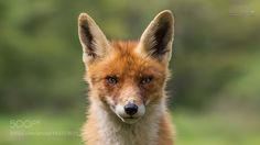 Red fox by scipbe #animals #animal #pet #pets #animales #animallovers #photooftheday #amazing #picoftheday