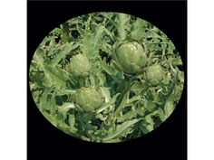 artichoke, green globe | Baker Creek Heirloom Seed Co