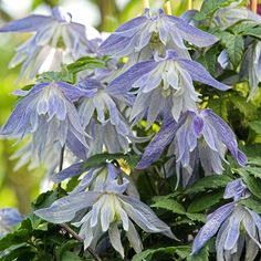 Maidwell Hall Clematis                                                                                                                                                      More