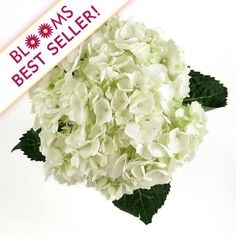 Wholesale Large Hydrangea White - Blooms by the Box