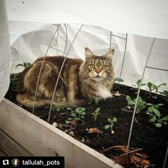 Our Garden Quilt fabric and hoops are kitty cat approved to make beds warm and cozy, and not just for kale. Thanks @tallulahpots ! #LoveGardeners