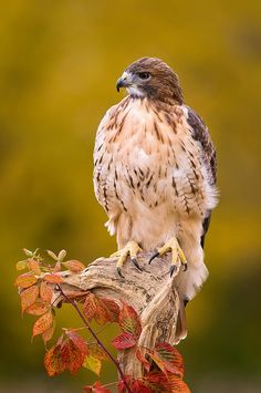Red-tailed Hawk. My scariest animal rescue was rescuing a wild red-tail. His tail feathers were to short so he could not fly. I had to capture him with a jacket I had on and drive to a store to but a box for him. Then I waited for the animal rehabilitation center to pick him up.