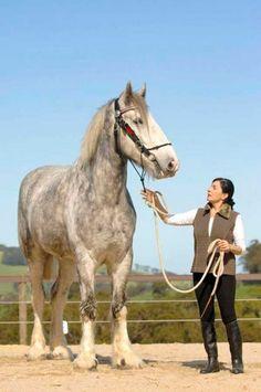 Noddy, um dos maiores cavalos do mundo com 2,05 metros - AC Variedades
