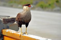 Crested Caracara (Patagonia)