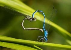Damselflies make the shape of a heart. These extraordinary images, taken by photographers across the globe, show Mother Nature celebrating the big day with iconic heart shapes appearing all over the natural world. Nature Images, Nature Photos, Weird Animal Facts, Heart In Nature, Love Is In The Air, Love Symbols, Love Heart, God's Heart, Heart Wall