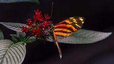 . butterfli, mariposa