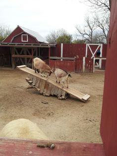 goat see-saw
