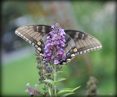 Butterfly Gardening by thegardenroofcoop: This is a female Eastern Tiger Swallowtail Butterfly.  #Butterfly #Garden